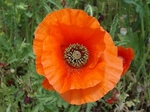 SampoChichibuPoppy 20190530-131117.JPG